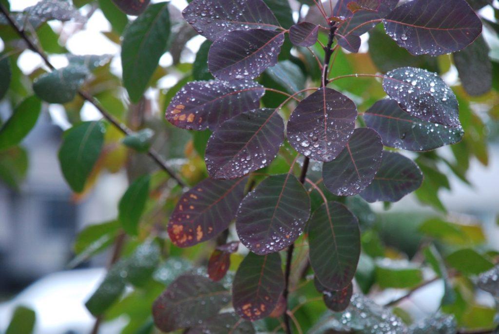 Photo Walk: Dark Leaves